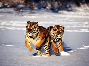 Help us save the Siberian Tiger