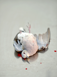 An illegally shot turtle-dove lies cold on the slab – a universal symbol of peace denied life and with that, the hope it once heralded.