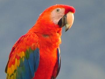 Scarlet Macaw at Chaskawasi-Manu. Salvacion, Manu