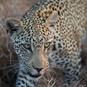 Wild Leopard © Harry Percy