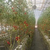 Rows of tomatoes grown by refugees in Zaatari