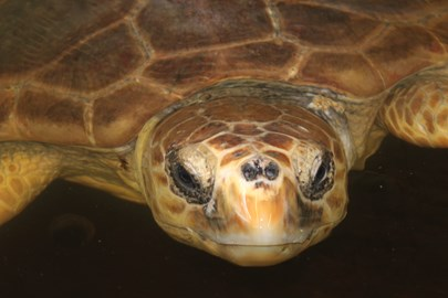 Please help fly Olivia the loggerhead turtle from the GSPCA in Guernsey to Gran Canaria
