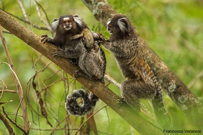 Marmoset family in natural habitat
