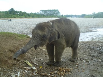 Orphaned elephant rescued in Leuser