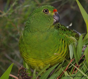 "Lonely Western Ground Parrot ""Brutus"" needs a mate"