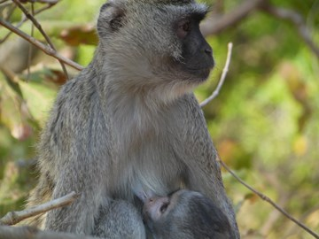The reason I'm running, one of the Vervet Monkeys i was working with that Born Free have rescued