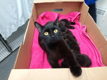 Prtobello and her kittens in the box they were found in